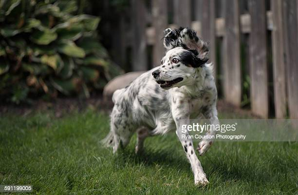 English setter playing