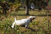 English Setter puppy flushing a bobwhite quail.