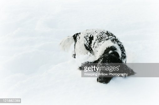 English Springer Spaniel in deep snow