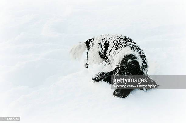 English Springer Spaniel in deep snow