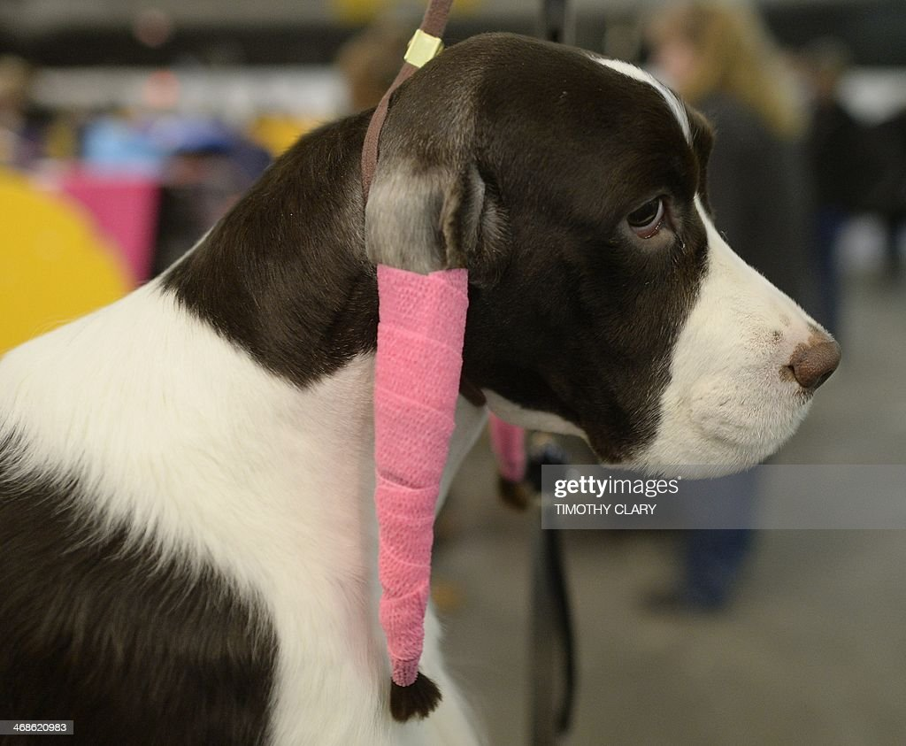 A English Springer Spaniel in the in the benching area at Pier 92 and 94 in New York City on the second day of competition at the 138th Annual...