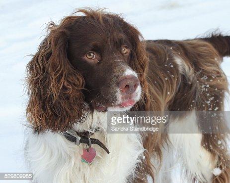 English Springer Spaniel in the Snow