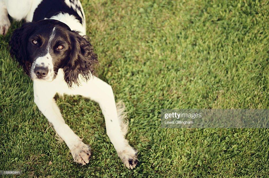 English springer spaniel : Stock Photo