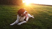 English Springer Spaniel Sitting On Grass Against Sky During Sunset
