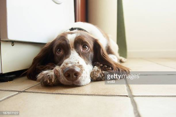 English springer spaniel soulful eyes