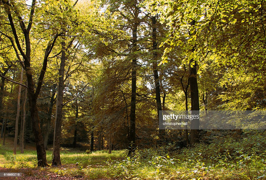 English woodland in the early morning sun : Stock Photo