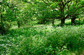 English woodland thicket with flowering cow parsley and dappled sunlight