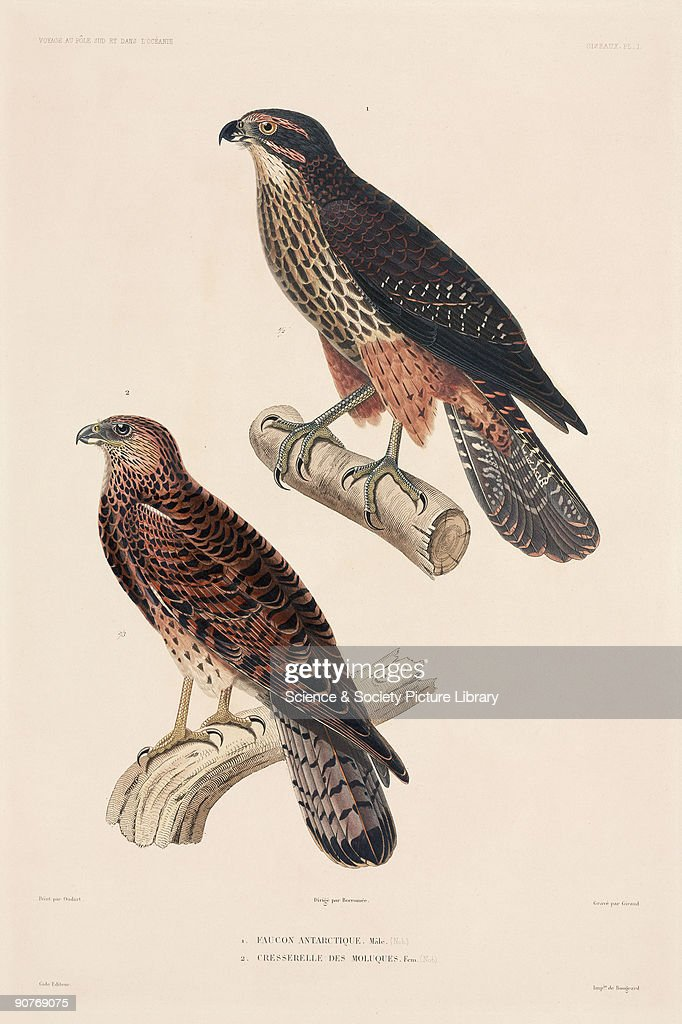 Engraving by Giraud after Oudart of a male Antarctic falcon and a female Moluccan kestrel From the atlas section of 'Voyage au Pole Sud et dans...