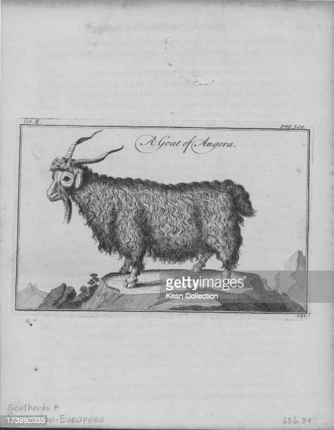 Engraving of a goat of Angora a breed of domestic goat that produce the lustrous fiber known as mohair