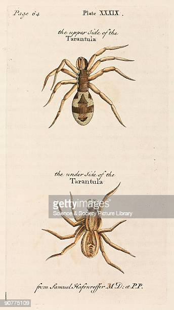 Engraving of a tarantula �from Samuel Hafenreffer MD� from �A natural history of spiders and other curious insects� by Eleazar Albin with copper...