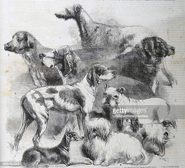 Engraving of the National Exhibition of Dogs at Birmingham 1 Deerhound 2 Bloodhound 3 Mastiff 4 Newfoundland 5 Small Pointer 6 Bulldog 7 Toy Terrier...