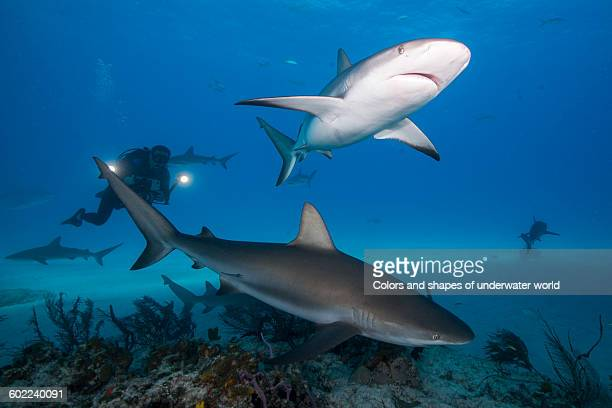 Enjoing Caribbean reef shark's presence at Bahamas