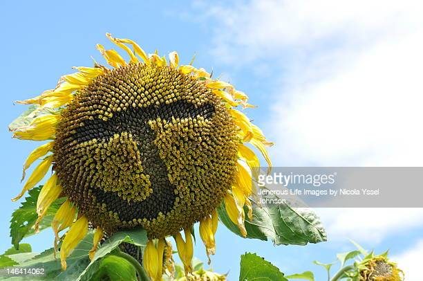 Enormous sunflower
