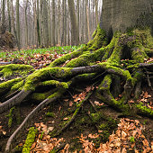 Deep roots of beech tree, trunk, boreal forest