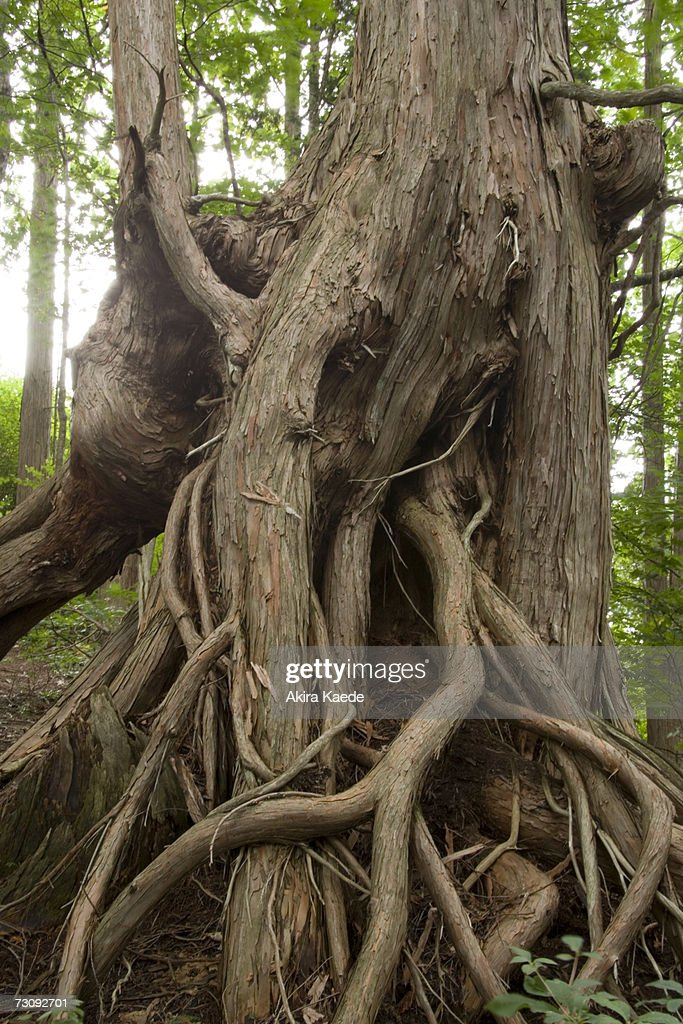 Entwined roots of ancient tree in forest : Stock Photo