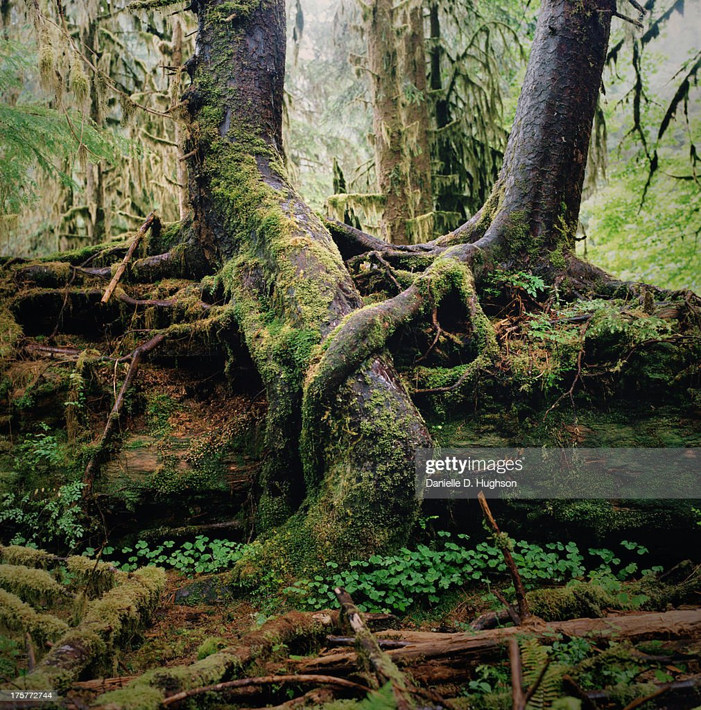 Entwined Tree Roots in Lush Forest