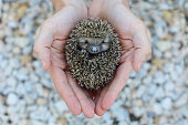 Environment protection: Little animal - hedgehog in human hand (shallow depth of field)