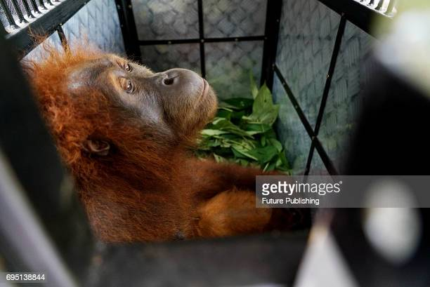 Environmental activists at 'The Human Orangutan Conflict Response Unit Orangutan Information Center' saves the Sumatran orangutan trapped in oil palm...