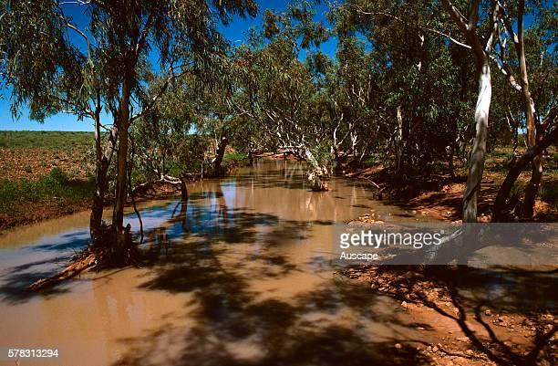 Ephemeral creek after rain with River red gums Eucalyptus camaldulensis Sturt National Park far western New South Wales Australia