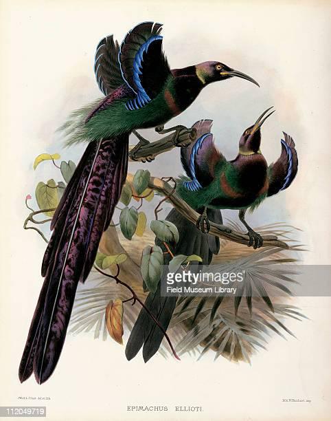 Epimachus Ellioti Elliot's Bird of Paradise Plate 20 by Daniel G Elliot early to mid 1870s