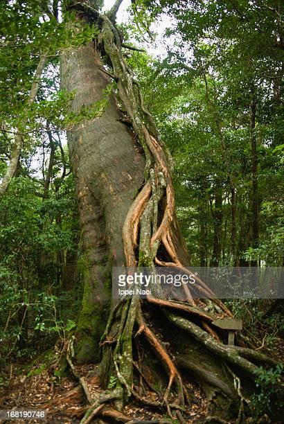Epiphyte growing on Japanese cedar tree, Yakushima