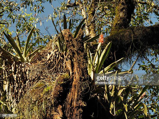Epiphytic plants in the Yungas, Argentina