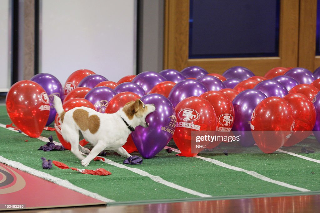 Anastasia the Balloon popping dog on February 1, 2013 --