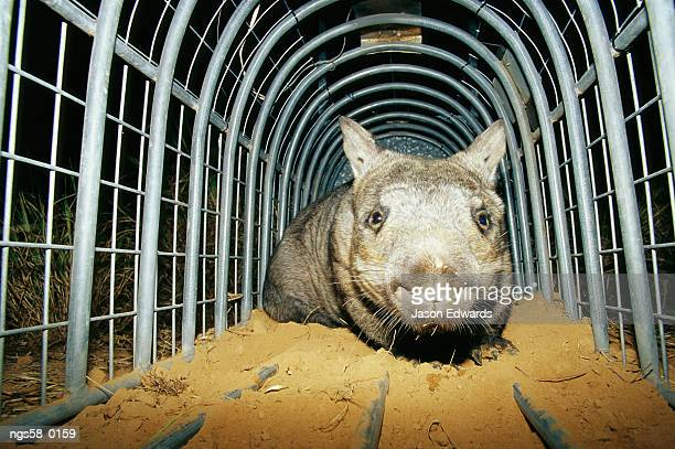 Epping National Park, Queensland, Australia. A critically endangered northern hairy-nosed wombat in a cage.