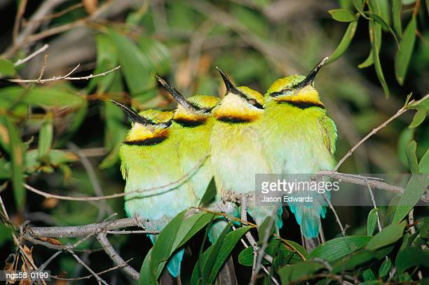 Epping National Park, Queensland, Australia. A group of rainbow bee-eaters sleeping huddled together.