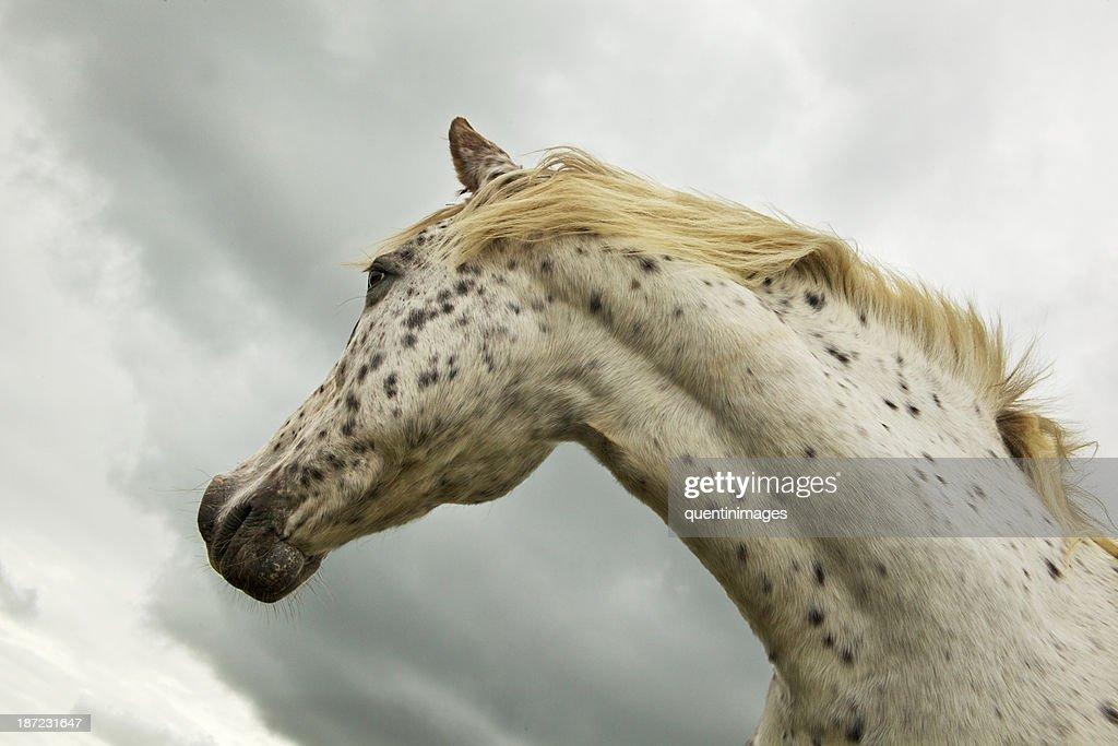 Equine Dalmation