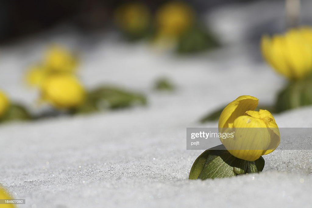 Eranthis Buttercup early spring flower in snow : Stock Photo
