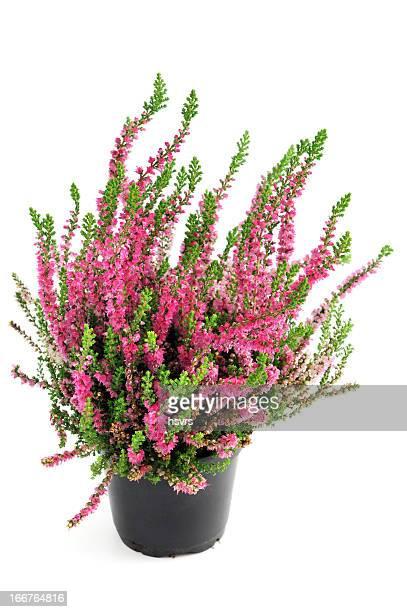 erica heather in flower pot