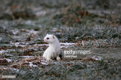 Ermine -Mustela erminea- in its winter coat, Allgaeu, Bavaria, Germany, Europe