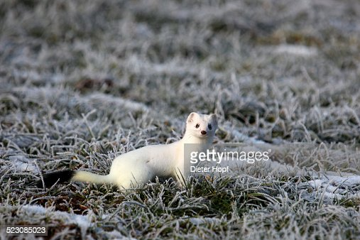 Ermine -Mustela erminea- in its winter coat on a hoarfrost-covered meadow, Allgaeu, Bavaria, Germany, Europe