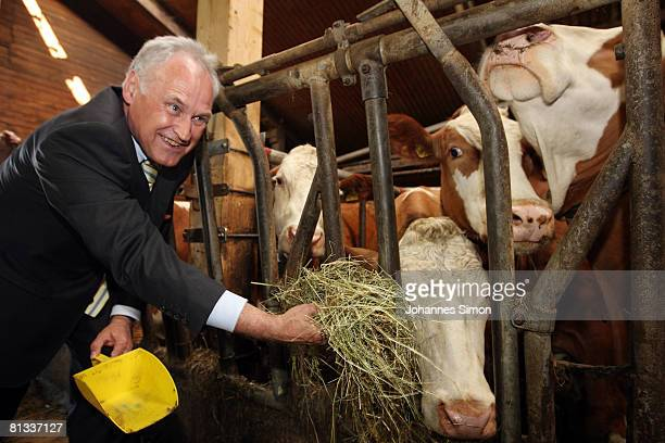 Erwin Huber head of the CSU and Bavarian Economic Minister is feeding cows in the cow barn of milk farmer Hans Doeringer on June 2 2008 in Spiegelau...