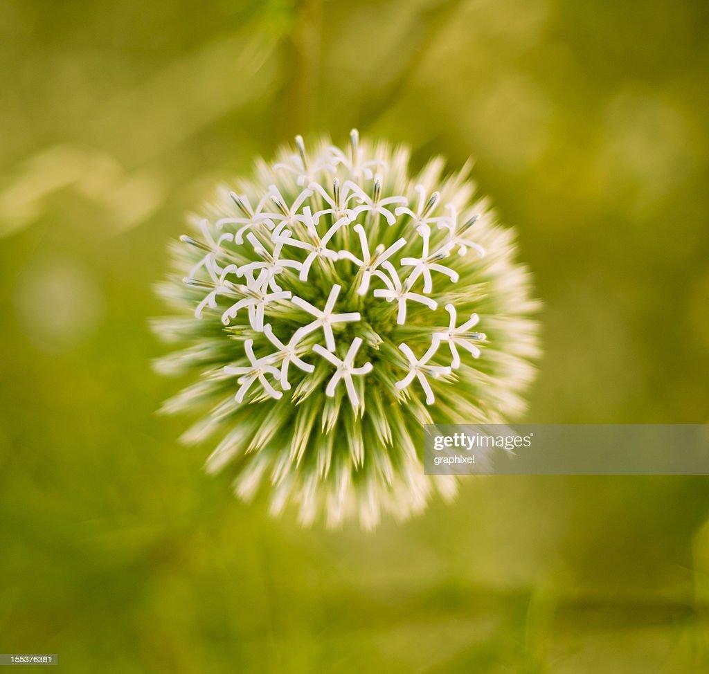 Eryngium campestre : Stock Photo
