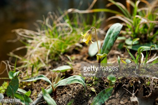 Erythronium grandiflorum americanum de trucha : Foto de stock