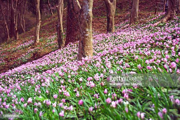 Erythronium flowers