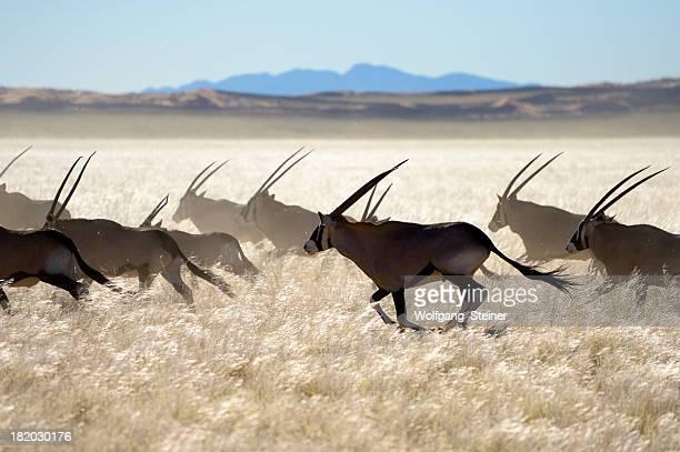 Escaping Oryx herd