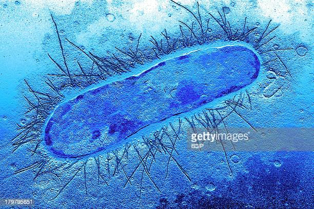 Escherichia Coli Tem Bacterial Pili Filamentous Extensions Protruding From The Cell Which Play An Important Role In Bacterial Adhesion To Mucosal...