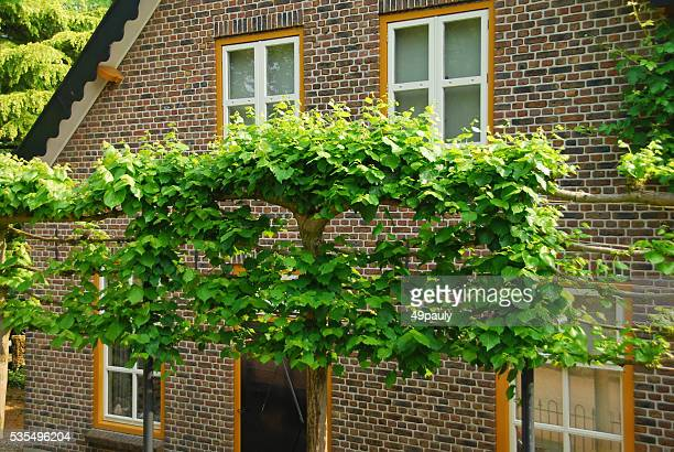 Espalier Linden tree full of green leaves.
