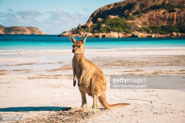 Esperance beach Kangaroo