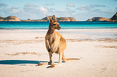 Kangaroo at Lucky Bay in the Cape Range National Park near Esperance, Western Australia