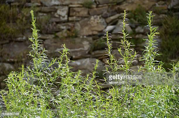 Estragon Bertram Artemisia dracunculus Kuechengewuerz Heilpflanze gruene lanzettfoermige Blätter Ligurien Italien
