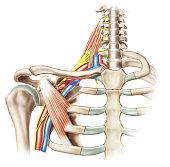 Structures of the brachial plexus(2).