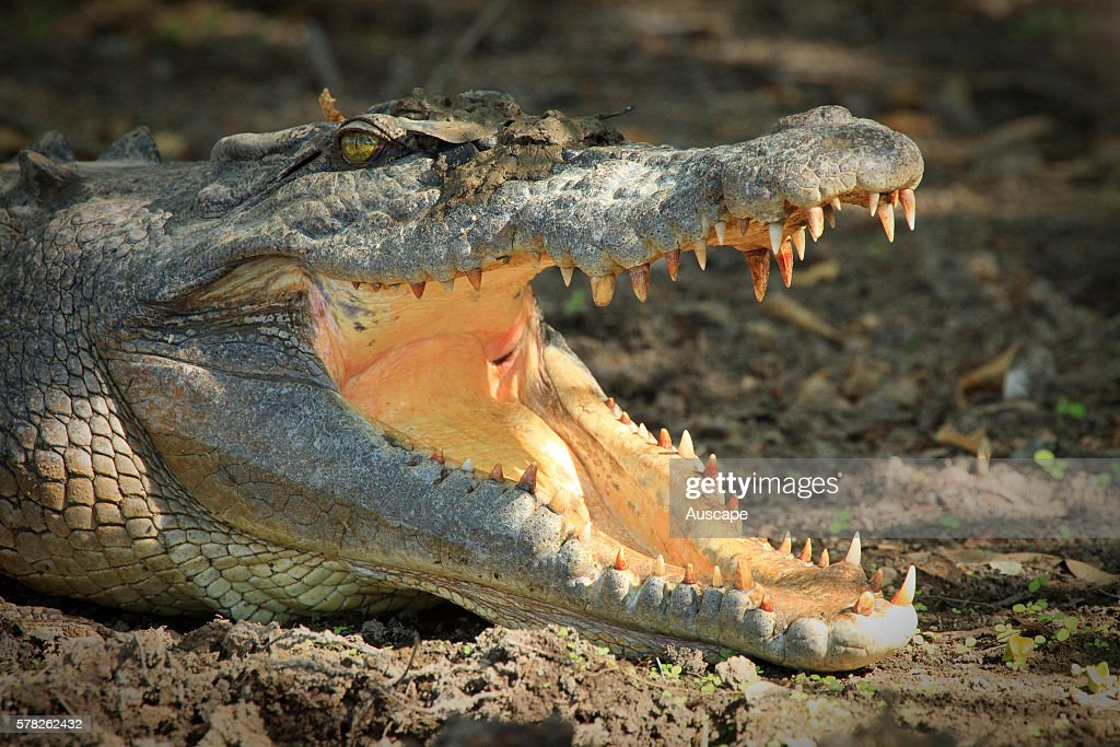 Estuarine crocodile Crocodylus porosus in cooling pose allowing cool air into the mouth Kakadu National Park Northern Territory Australia