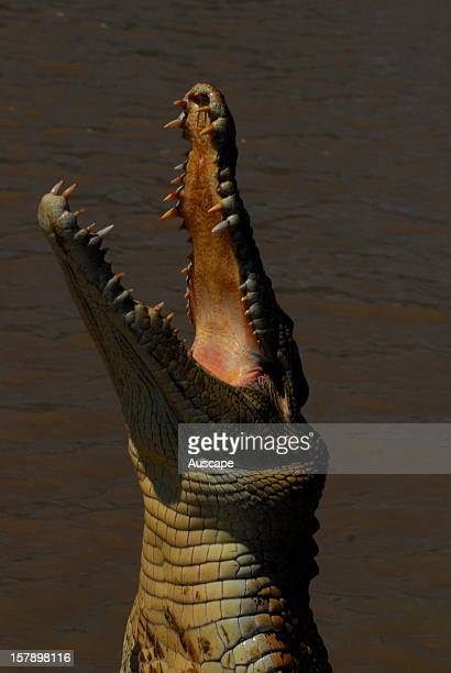 Estuarine crocodile lunging for a lure jaws gaping Corroboree Billabong Top End Northern Territory Australia
