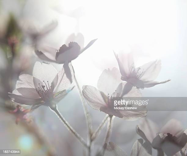 Ethereal shot of white cherry blossom, prunus serrulata