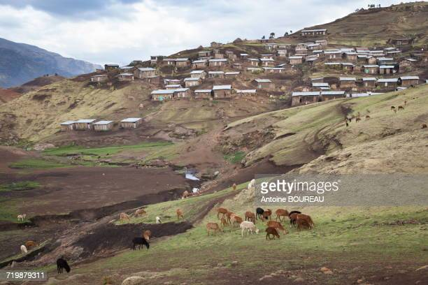 Ethiopia, Herd of goats and Chenek village in Simien mountains