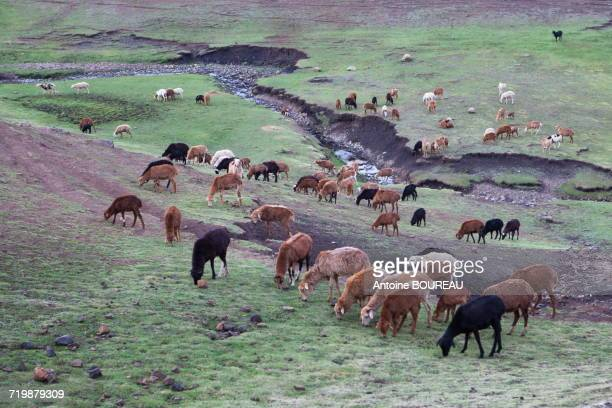 Ethiopia, Herd of goats in Simien mountains